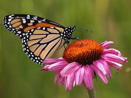Echinacea Flower Capt Mondo U0027s Blog Blog Archive Monarch Butterfly On An