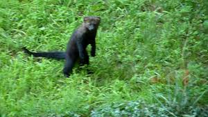amazing fisher cat in nh yard youtube