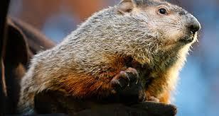 groundhog animal forecasters csmonitor