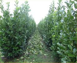 native screening plants fast growing laurel available in washington state