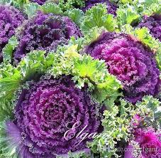2018 ornamental kale brassica oleracea flowering kale 50 seeds mixed