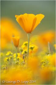 california poppies gallery u2014 george lepp imaging