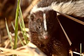 How To Get Rid Of A Skunk In Your Backyard How To Get Rid Of Skunks In Your Backyard U2013 The Housing Forum