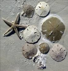 where to buy sand dollars 41 best sand dollars my newest obsession images on