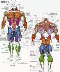 The Human Anatomy Pictures Muscle Groups A Tour Of The Human Body U0027s Major Muscle Groups