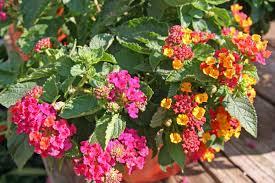 Heat Resistant Plants Fafard May 2016 Archives Fafard