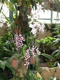 oncidium orchid oncidium orchids picture of eric orchid foundation