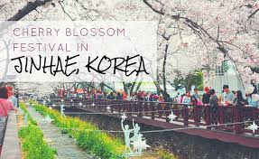 jinhae cherry blossom festival linda goes east