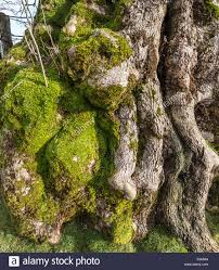 up of ash tree bark with green moss stock photo 89217496 alamy