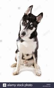 siberian huskies cut out stock images u0026 pictures alamy