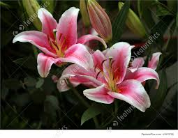pink lillies pink lilies picture