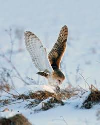 What Does A Barn Owl Look Like How To Find And Identify Barn Owl In Nj Nj Audubon Ebird