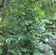 native plants pa common pawpaw native plant of the month tara wildlife