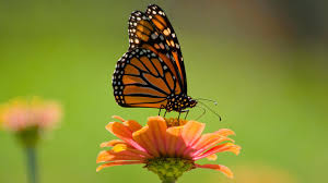 100 plus groups urge feds for more funding to save monarch