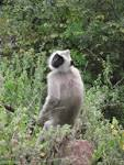 Image result for Semnopithecus priam