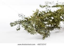 douglas fir tree stock images royalty free images vectors