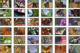the butterfly website butterfly photos butterfly clipart