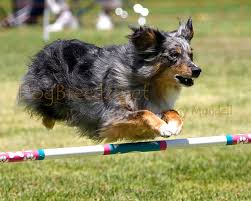 australian shepherd kennel club dogbreedz photo keywords 0879a