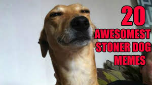 Stoned Dogs Meme - stoner dog meme 20 pix of the funny meme based off 10 guy heavy com
