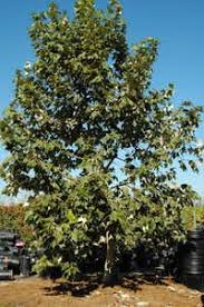 why the mexican sycamore is better for than our tree