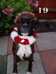 boxer dog 2016 calendar blackpool dog walking cat sitting u0026 small pet services