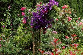 Climbing Plants For North Facing Walls - climbers for a shady wall or fence gardenersworld com