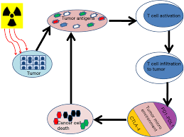 immunological interactions in radiotherapy u2014opening a new window of