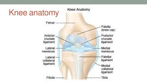 Knee Anatomy Pics Lower Limb Clinical Anatomy