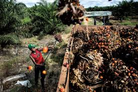 indonesia u0027s palm oil industry rife with human rights abuses