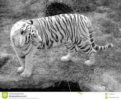 white tiger stock photos royalty free pictures