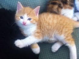 beautiful ginger kitten for sale ipswich suffolk pets4homes