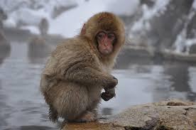 a visit w the snow monkeys at jigokudani monkey park japan