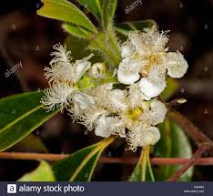 native australian flowering plants cluster of white flowers of australian native tree lophostemon