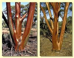 eucalyptus salubris
