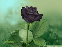 black roses for sale pic of black roses wallpapergenk