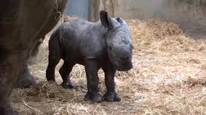 this baby rhino jumping in a puddle is the cutest thing you will