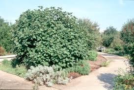 native louisiana plants get it growing figs thrive in louisiana landscape bossier press