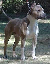 ukc american pitbull terrier pit bull and patterdale bred by page 1