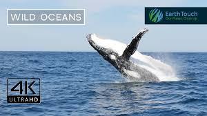 humpback whales breaching in ultra hd youtube
