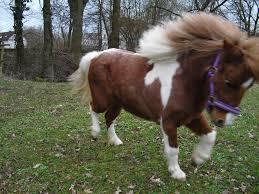 Suche Zu Kaufen Mini Shetty Stute In Gute Hände Zu Verkaufen Ponys Und Kleinpferde