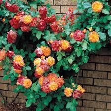 joseph u0027s coat climbing rose plants encyclopedia