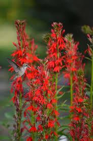 cardinal flower lobelia cardinalis cardinal flower prairie moon nursery