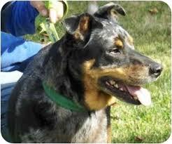 australian shepherd mix breeds jeremy adopted dog eugene or doberman pinscher australian