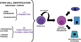 renal stem cells fact or science fiction biochemical journal