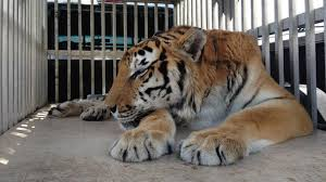 four pound hairball removed from ty the tiger s stomach nbc