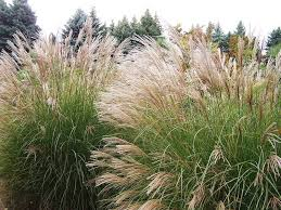 ornamental grasses are nearly perennials