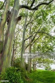 Rainbow Eucalyptus Rainbow Eucalyptus Stock Photos And Pictures Getty Images