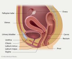 Female Anatomy Image Female Pelvic Pain
