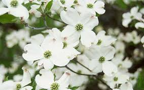 dogwood flowers white flowering dogwood hoette farms nursery