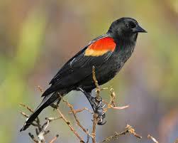 red winged blackbird audubon field guide